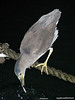 Night Heron, near pier 49, San Francisco