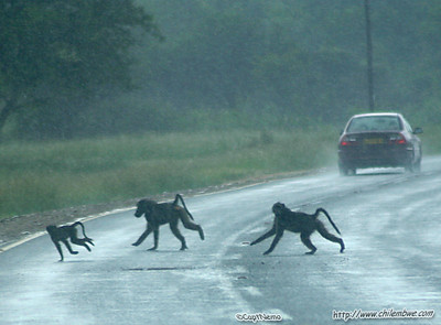 Baboons playing in traffic