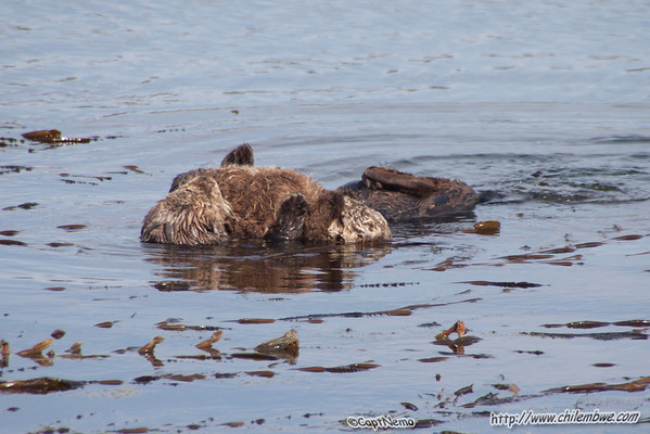 Mother Otter and pup